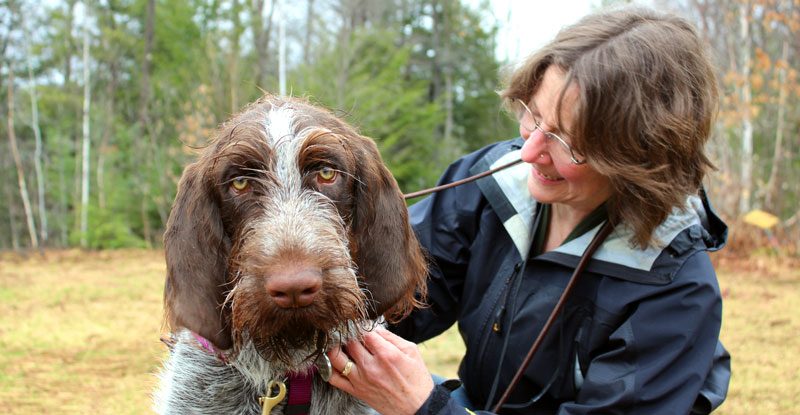 spinone italiano dog