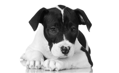 loving American Staffordshire Terrier