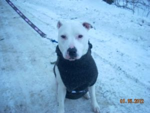 Pit Bull in winter sweater