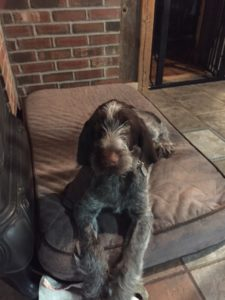 Spinone Italiano puppy on bed