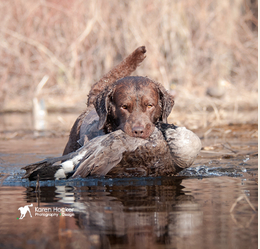 Barrel Select Chesepeake Bay Retriever