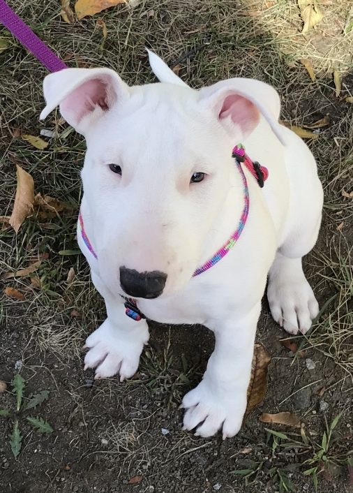 white bull terrier puppy in pink harness