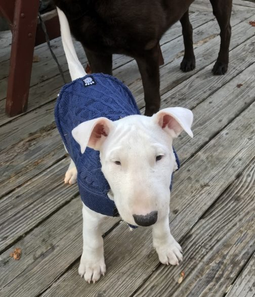 white bull terrier puppy in a blue sweater