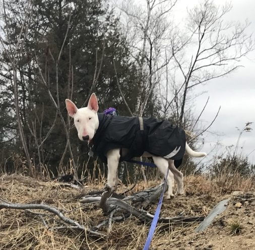 bull terrier in jacket