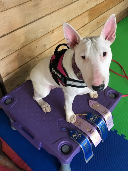 White Bull Terrier with nose work ribbons